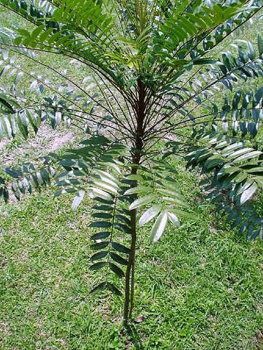 Tongkat Ali atau Pasak Bumi (Eurycoma Longifolia), tanaman berbentuk batang, banyak tumbuh di Indonesia, Malaysia, Thailand.